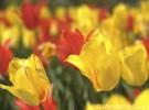Dallas Arboretum Tulips